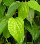 Manfaat daun sirih untuk jerawat