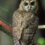 Ciri Khusus Burung Hantu