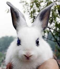 Ciri Khusus Kelinci