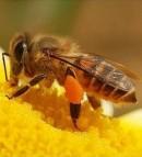 Ciri Khusus Lebah
