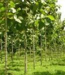 Ciri Khusus Pohon Jati
