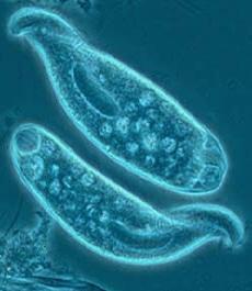 Pengertian Protozoa
