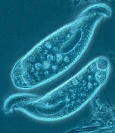 Klasifikasi Protozoa