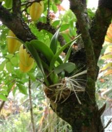 Pengertian Tumbuhan Epifit