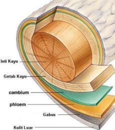 Struktur Anatomi Batang Dikotil