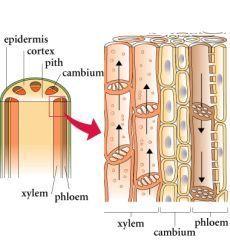 Struktur Anatomi Batang Monokotil