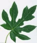 contoh tumbuhan berdaun menjari