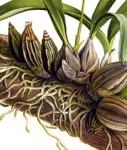 Contoh tumbuhan yang memiliki velamen