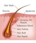 Gambar Anatomi Rambut