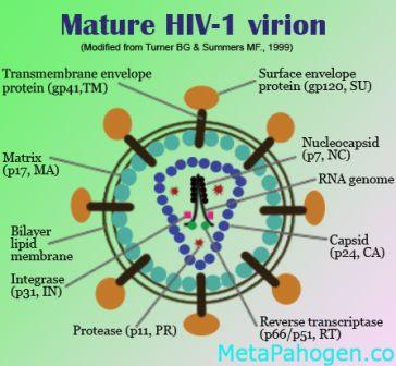 Gambar Anatomi Struktur Virus Hiv Dengan Keterangannya