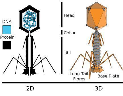 Gambar Bakteriofag
