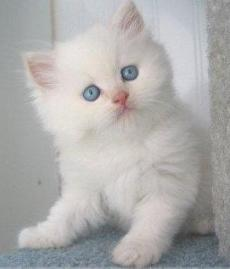 Klasifikasi Kucing