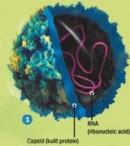 Siklus Hidup Virus Polio