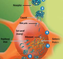 Struktur Anatomi Virus Polio