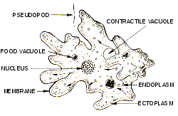 Gambar Struktur Amoeba