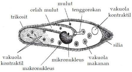 Gambar Struktur Ciliata