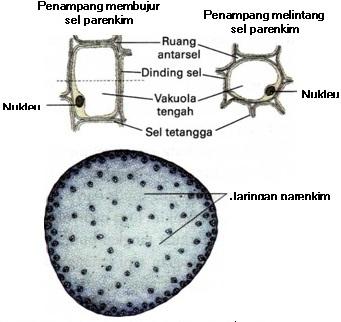 Gambar struktur Jaringan Parenkim
