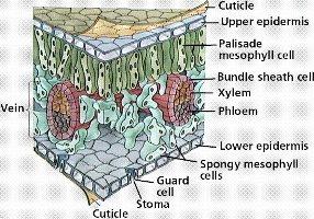Gambar Jaringan Epidermis Tumbuhan