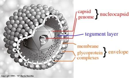 Pengertian Struktur Virion