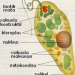 Struktur Flagellata