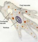 Struktur Rhizopoda