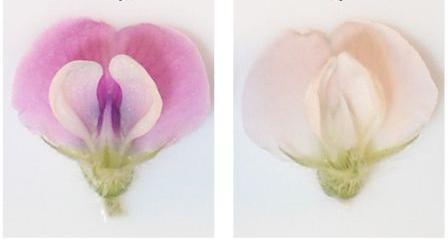 gambar struktur bunga kedelai
