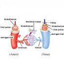 anatomi pembuluh darah vena