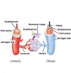 fungsi pembuluh darah arteri