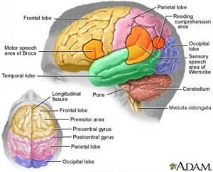 otak dan fungsinya