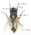 Klasifikasi Lalat