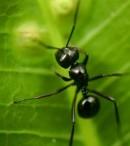 klasifikasi semut hitam