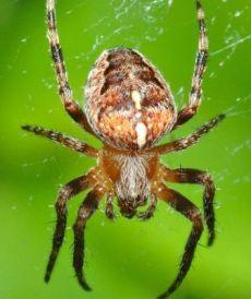 Klasifikasi laba-laba dan nama latin laba-laba
