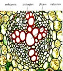Struktur anatomi akar dikotil dan monokotil