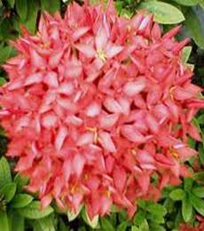 deskripsi bunga asoka