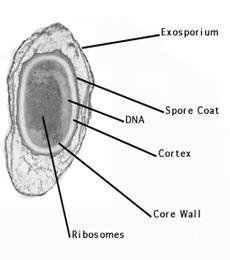 fungsi endospora