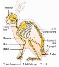 gambar morfologi kelinci