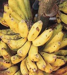 gambar pisang raja