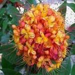 klasifikasi bunga asoka