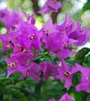 klasifikasi bunga kertas