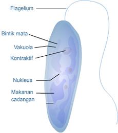 klasifikasi euglena viridis