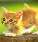klasifikasi hewan kucing