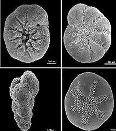 manfaat foraminifera