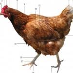 morfologi ayam