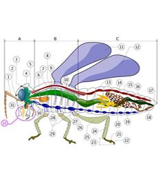 morfologi belalang