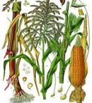 morfologi bunga jagung