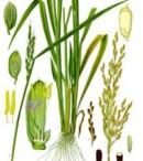 morfologi jagung