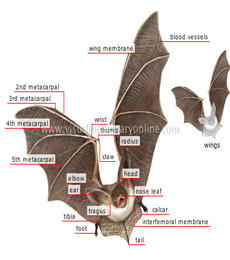 morfologi kelelawar