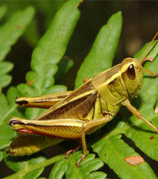 nama latin belalang