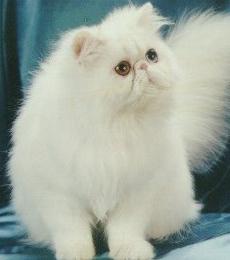 nama latin kucing andora