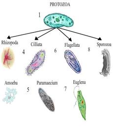pengelompokan protozoa